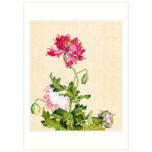 B4 Size, Print Card, Poppy, Immortal Blossoms in an Everlasting Spring, Immortal Blossoms in an Everlasting Spring, Giuseppe Castiglione, Qing Dynasty